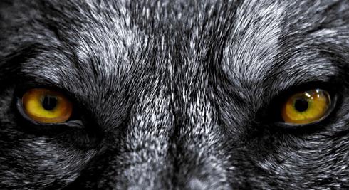 Wolf eyes in dark - photo#21