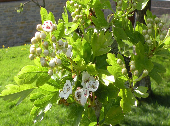 The Holy Thorn in Glastonbury Abbey blossoms only around Christmas and Easter